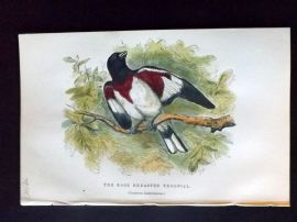 C. W. Gedney 1888 Antique Hand Col Bird Print. Rose Breasted Troopial